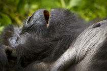 Africa, Rwanda, Juvenile Mountain Gorilla of the Umubano Gro... by Danita Delimont