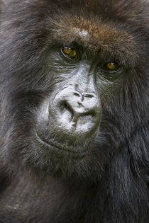 Rwanda. Female Mountain Gorilla of the Umubano Group at Volc... by Danita Delimont