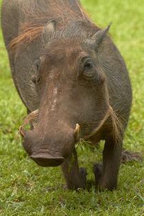 Warthog, Kruger National Park, South Africa von Danita Delimont