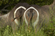 Rump markings on female waterbucks, Kruger National Park, South Africa by Danita Delimont