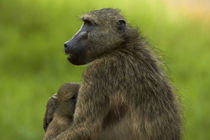 Chacma baboon and baby, Kruger National Park, South Africa by Danita Delimont