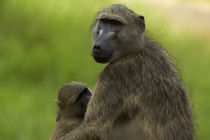 Chacma baboon and baby, Kruger National Park, South Africa von Danita Delimont