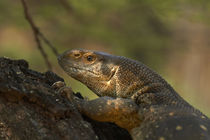White-throated monitor, Kruger National Park, South Africa by Danita Delimont