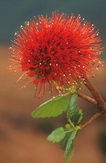 Natal bottlebrush flower, uKhahlamba / Drakensberg Park, Kwa... von Danita Delimont