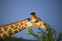 Giraffe feeding, Madikwe Game Reserve, North West, South Africa. von Danita Delimont