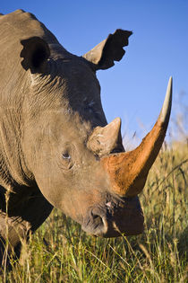 White Rhinoceros, Itala Game Reserve, KwaZulu-Natal, South Africa. by Danita Delimont