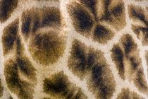 Giraffe skin by Danita Delimont