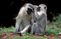 Vervet Monkey's grooming, Fanies Island, iSimangaliso Wetlan... von Danita Delimont
