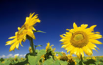 Sunflowers, near Senekal, Free State, South Africa by Danita Delimont