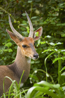 Bushbuck, Kruger National Park, Mpumalanga, South Africa. by Danita Delimont