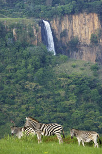 Burchell's Zebra herd with Howick Falls in background, Umgen... by Danita Delimont