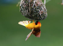 African Masked-weaver making nest, Limpopo, South Africa. by Danita Delimont