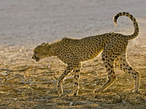 Young cheetah stalks behind its mother on a hunt, Kgalagadi ... von Danita Delimont