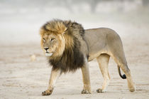 Large black maned Lion walks through a dust storm, Kgalagadi... von Danita Delimont
