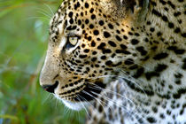 Portrait of leopard, Kirkman's Camp, Sabi Sand Game Reserve,... by Danita Delimont