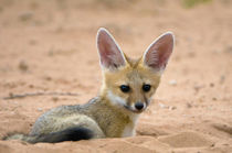 Cape fox pup peers inquisitively from its den, Kgalagadi Nat... von Danita Delimont