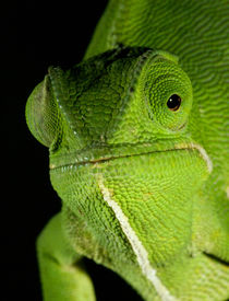 Portrait of Flap-necked Chameleon, Midlands, KwaZulu-Natal, ... by Danita Delimont