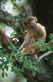 Young Chacma baboon sitting in a tree by Danita Delimont