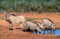 Warthog family at waterhole, Addo Elephant National Park, Ea... by Danita Delimont