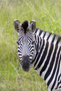 Portrait of Plains Zebra, Hluhluwe-Umfolozi Game Reserve, Kw... by Danita Delimont
