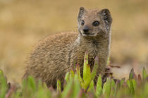 Yellow Mongoose juvenile amongst figs, De Hoop Nature Reserv... von Danita Delimont