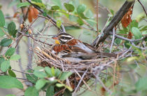 Golden-Breasted bunting in a nest, Nylsvley Nature Reserve, ... by Danita Delimont