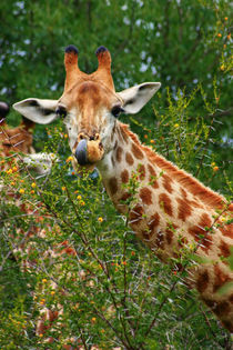 Giraffe portrait, Kruger National Park, Mpumalanga, South Africa. by Danita Delimont