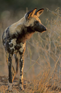 African Wild Dog, Kruger National Park, South Africa von Danita Delimont