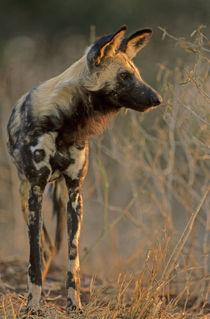 African Wild Dog, Kruger National Park, South Africa by Danita Delimont