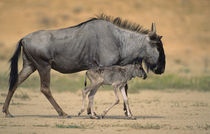 Blue Wildebeest mother and calf, Kgalagadi Transfrontier Par... by Danita Delimont