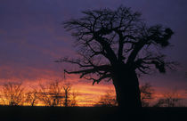 Baobab at dusk, Kruger National Park, South Africa by Danita Delimont