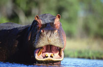 Hippopotamus threat display, Chobe National Park, Botswana by Danita Delimont