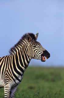 Plains Zebra calling, Tala Private Reserve, Midlands, KwaZul... by Danita Delimont