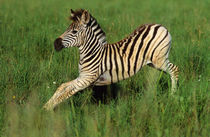 Plains Zebra foal stretching, Midmar Game Reserve, Midlands,... von Danita Delimont