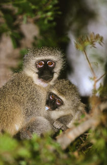 Vervet Monkey suckling, Kruger National Park, Mpumalanga, So... by Danita Delimont