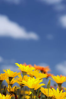 Orange and yelow daisy flowers against blue sky by Danita Delimont