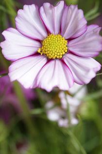 Cosmos Flower von Danita Delimont