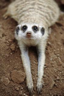 Meerkat cooling down against cool earth by Danita Delimont