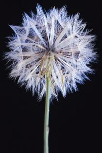 Dandelion seed head by Danita Delimont