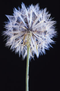 Dandelion seed head von Danita Delimont
