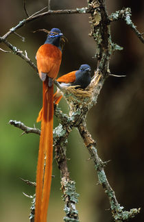 African Paradise Flycatcher, Helderberg Nature Reserve, Some... by Danita Delimont
