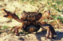 Freshwater Crab observing, Durban, KwaZulu-Natal, South Africa. by Danita Delimont