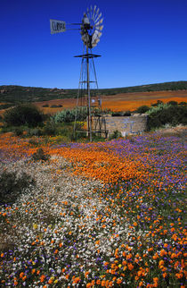 Windmill and flowers, near Kamieskroon, Namaqualand District... by Danita Delimont