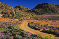 Road through flowers, Geogap Nature Reserve, Namaqualand, No... by Danita Delimont