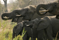 A herd of African elephants drip water from their mouths as ... by Danita Delimont