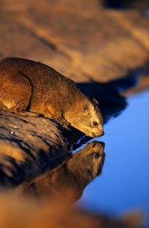 Rock Hyrax drinking, Augrabies Falls National Park, Northern... by Danita Delimont