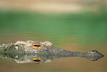A Nile Crocodile lurking in anticipation. von Danita Delimont