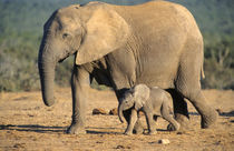 An African Elephant mother and calf on the move. von Danita Delimont