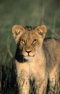 A Lion cub observes the camera from the long grass. by Danita Delimont