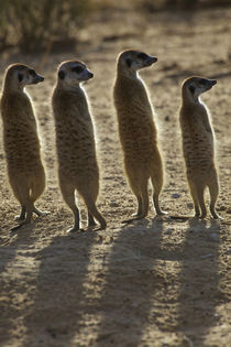 A family of Meerkats with their backs to the camera, Kgalaga... von Danita Delimont